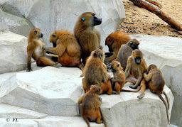 Babouins de Guinée