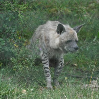 Hyène Rayée 2