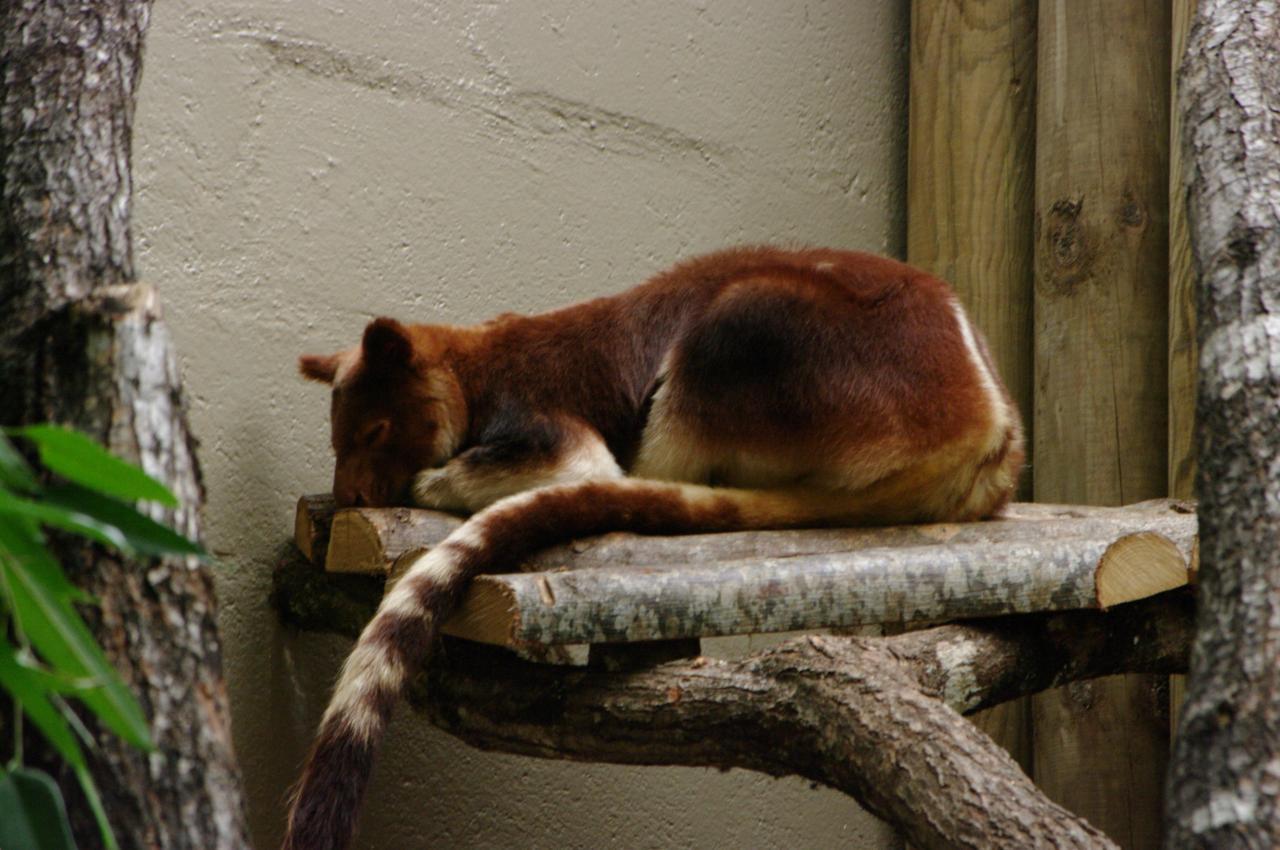 Dendrolague de Goodfellow-Kangourou arboricole