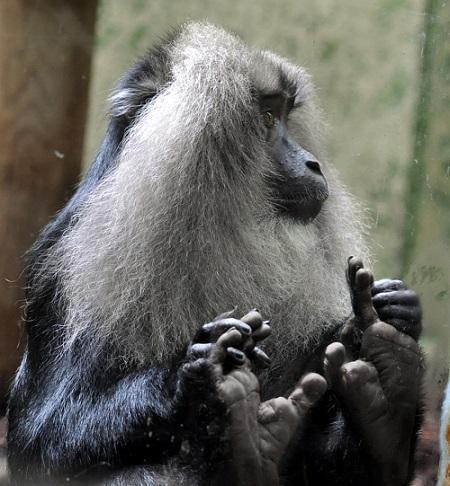 Macaque à queue de lion