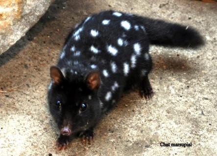 10 mignon chat marsupial par fl