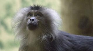 11 macaque a queue de lion c mnhn roxane chenay