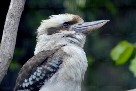 13 kookaburra par j munier
