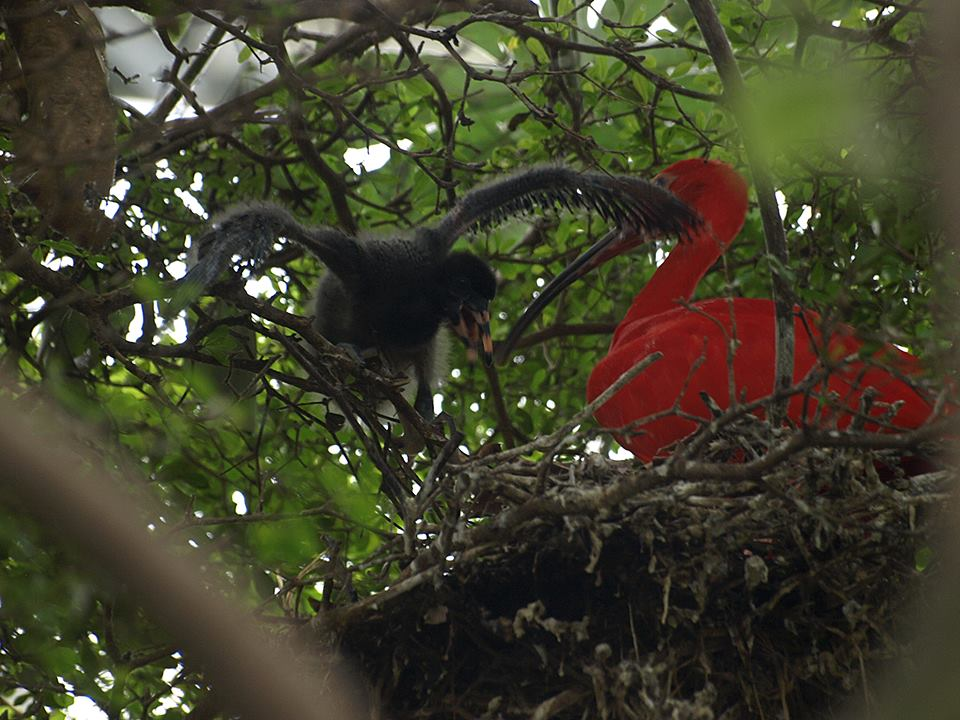 13 zone guyane serre tropicale un jeune ibis rouge