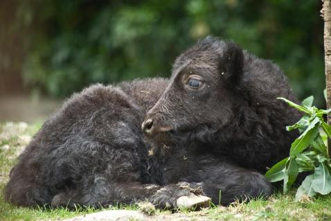 16 bebe yack ne le 17 juin 2016 par mthieu descombes