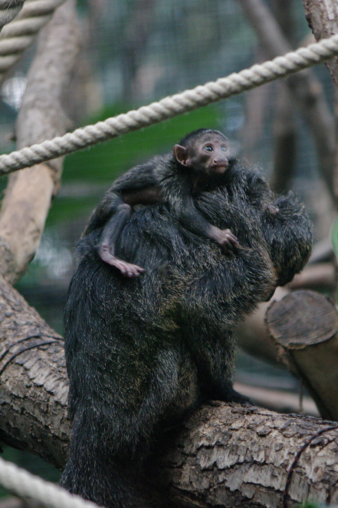16 zone guyane serre tropicale adorable bebe accroche a sa mere