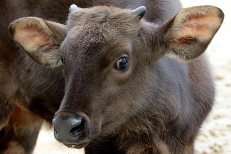 17 jeune gaur decembre 2017 photo decembre 2017 e baril