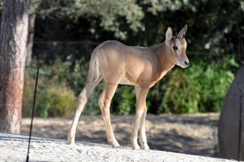 18 zone sahel soudan jeune oryx ne le 14 aout photo fl
