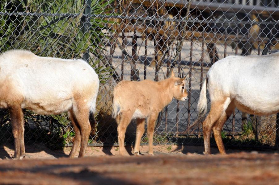 2 oryx d arabie2