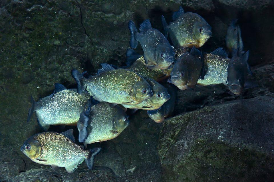 20 banc de piranhas a ventrre rouge arrives de 02 fevrier
