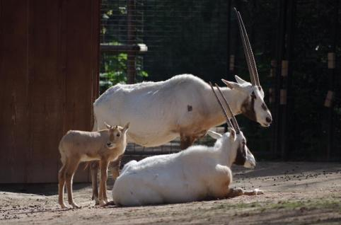 20 jeune oryx ne le 10 mars 2016 et ses parents avril 2016 photo m descombes