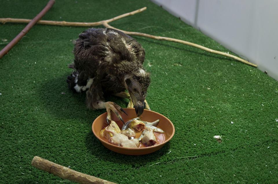 3 jeune vautour palmiste ne en mars 2016