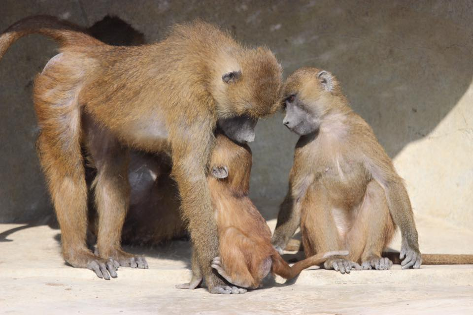 35 petit babouin tete