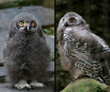 36 bebe harphang qui adopte son plumage deux mois apres