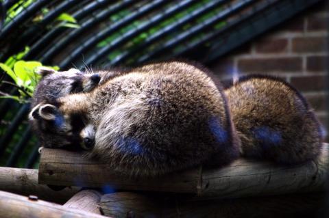 4 c est l heure de la sieste pour les ratons laveurs