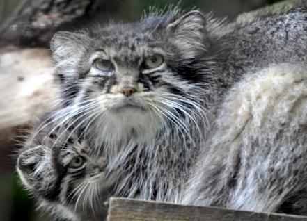 53 chat de pallas mere et bb fl
