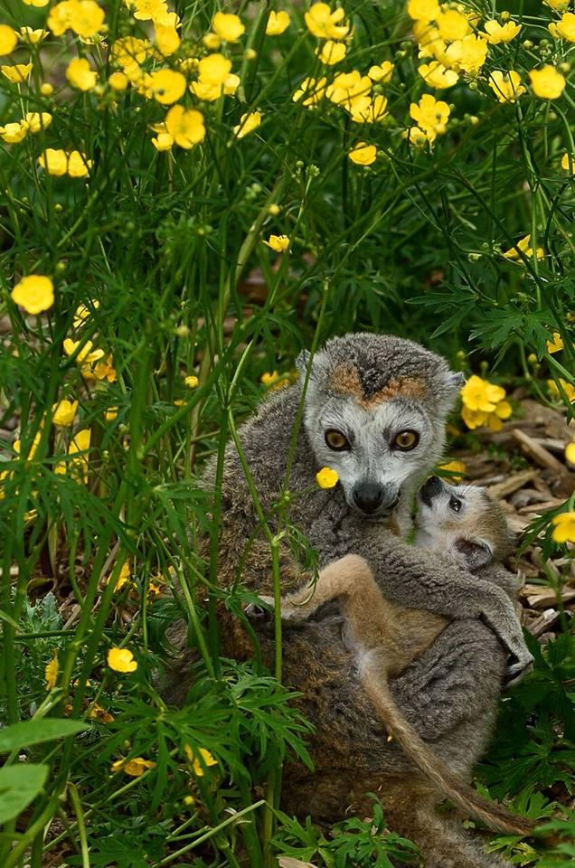 6 jeune lemur a tete couronne photopzp