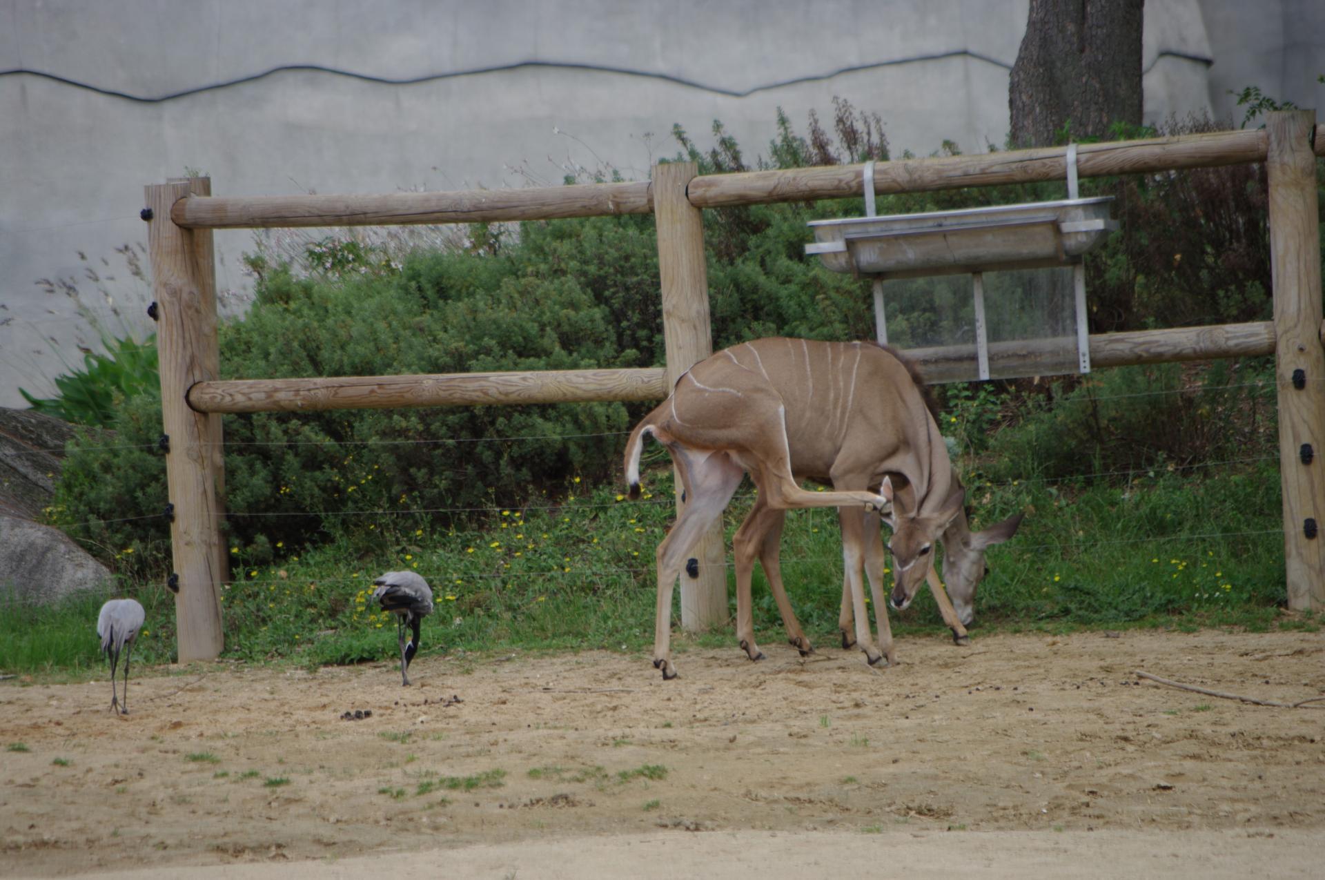 65 zone sahel soudan deux grands koudous et deux grues