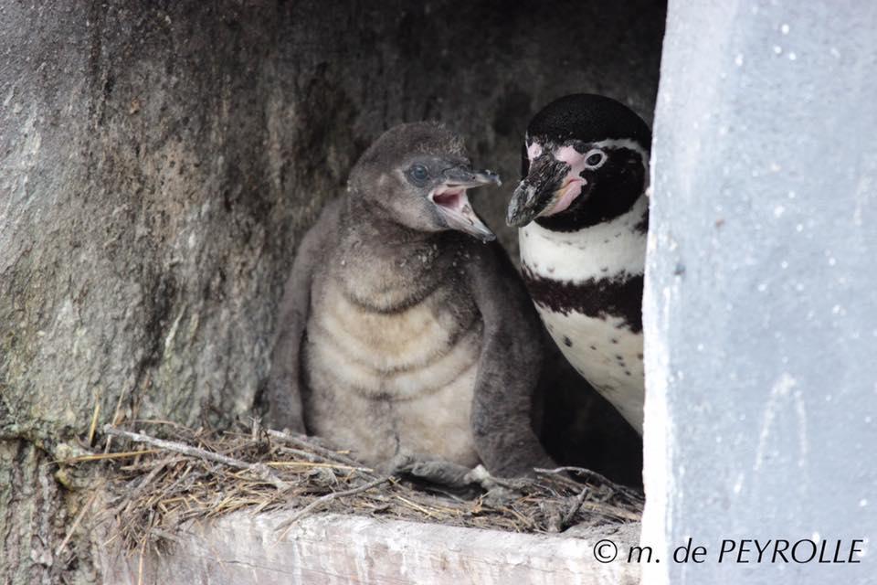 66 zone patagonie jeune manchot par m de peyrolle