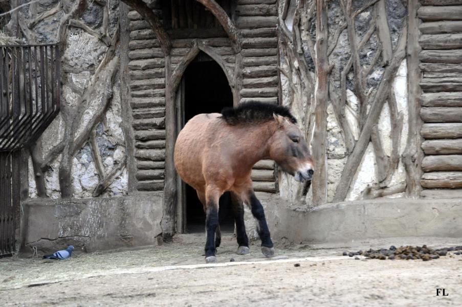 7 cheval de przewalski 1