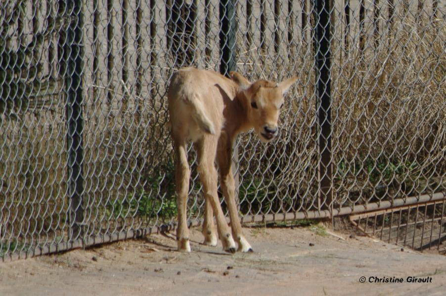 7 le grillage offre un appui salutaire au bebe oryx