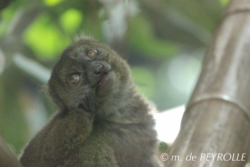 70 zone madagascar serre tropicale bebe grand hapalemur ne le 21 avril 2016