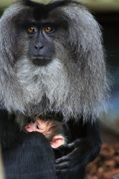 9 femelle macaque a queue de lion et son petit photo emmanuel baril