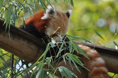 Actions pandas roux
