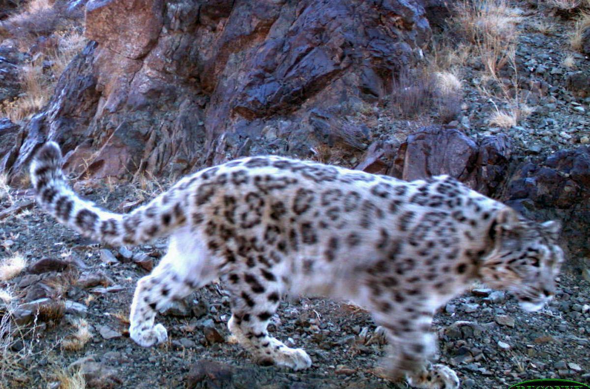 Anou1 _Snow Leopard Trust