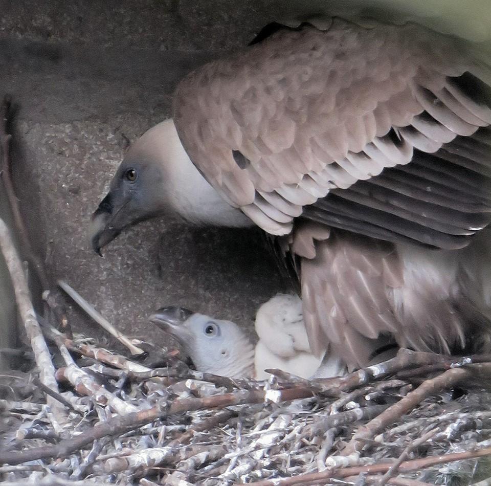 Bebe vautour grandit bien 10 mai celine renac