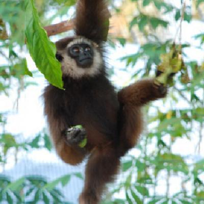 Parrainage Gibbon Kalaweit