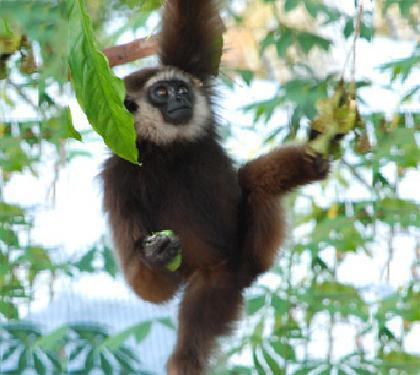 Gibbon kalaweit