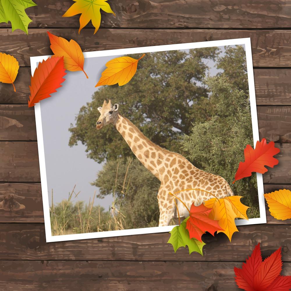 Girafe fandou automne2 sanspixiz