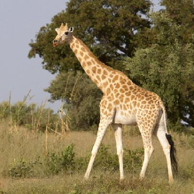 Parrainage Girafe