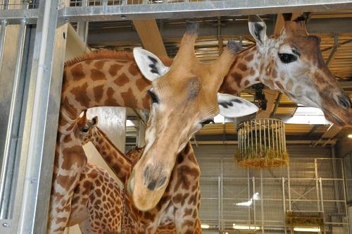 Giraferie2