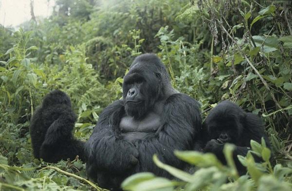Gorilles rwanda 085 copie