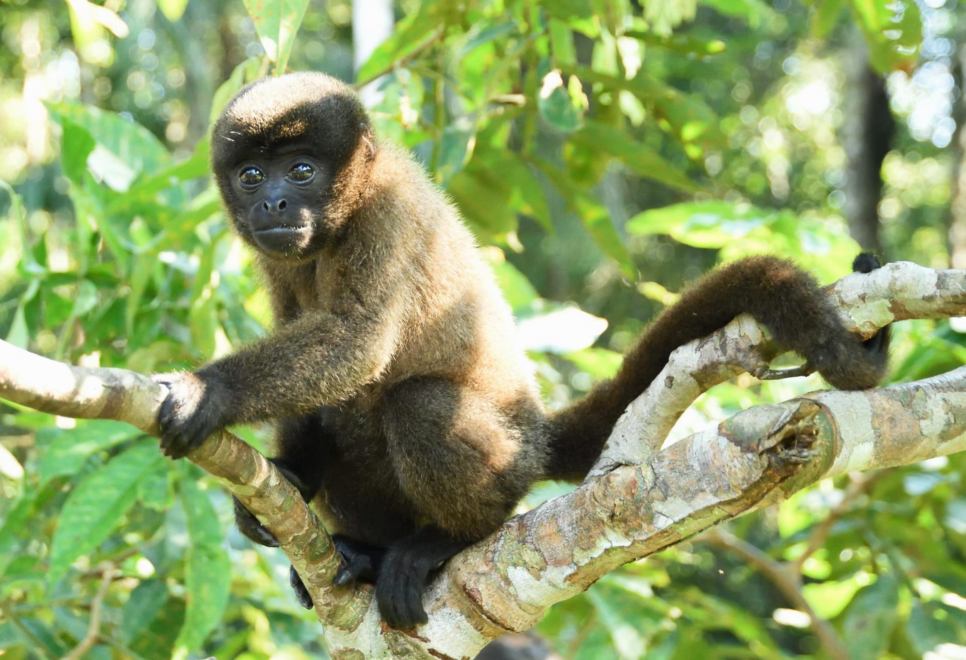 Guarasi singe laineux