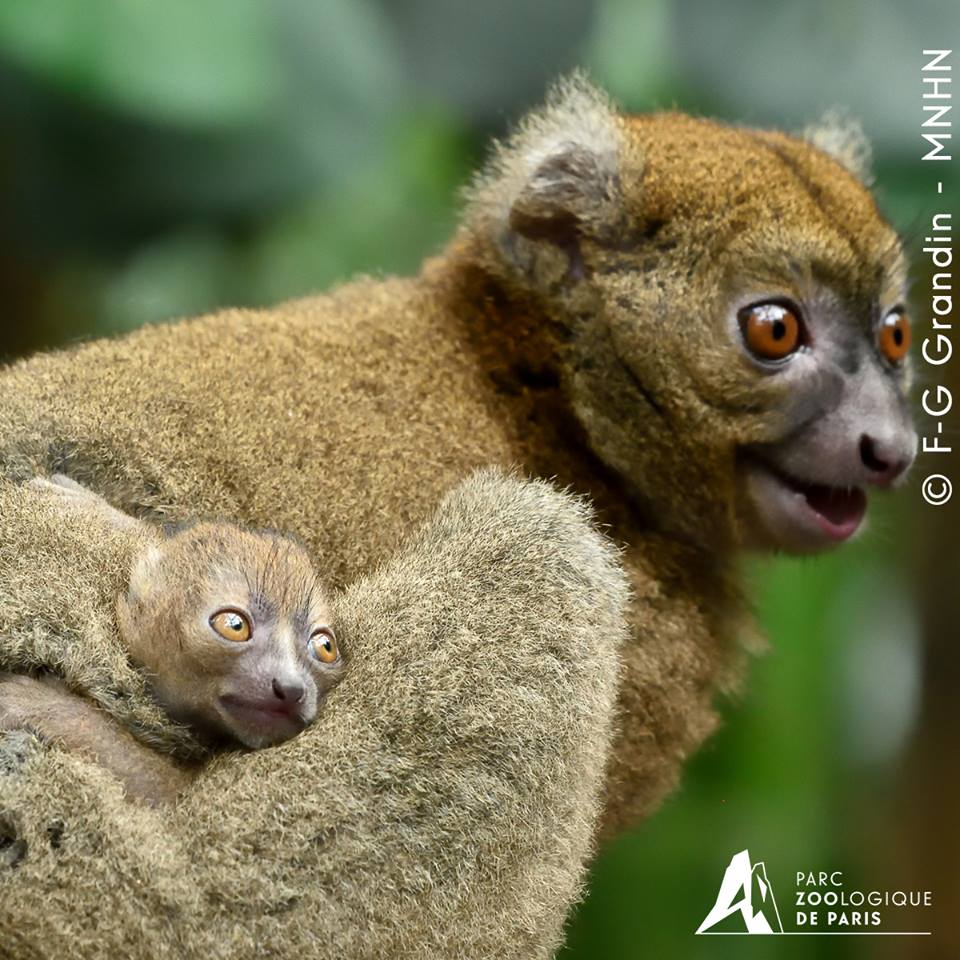 Hapalemur belinda et son bebe ne en juillet 2015 f g grandin mnhn