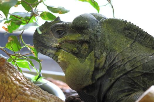 Iguane rhinoceros min