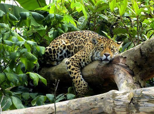 Jaguar femelle