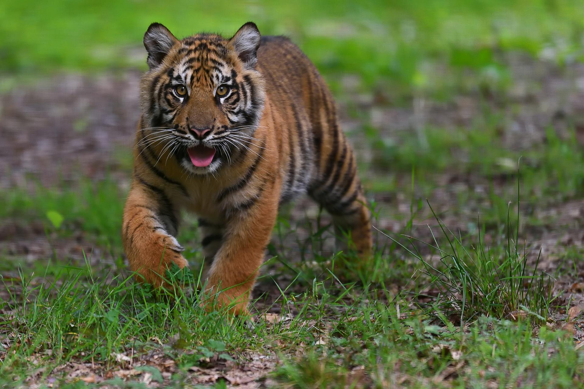 Jeune tigre de sumatra c mnhn f g grandin