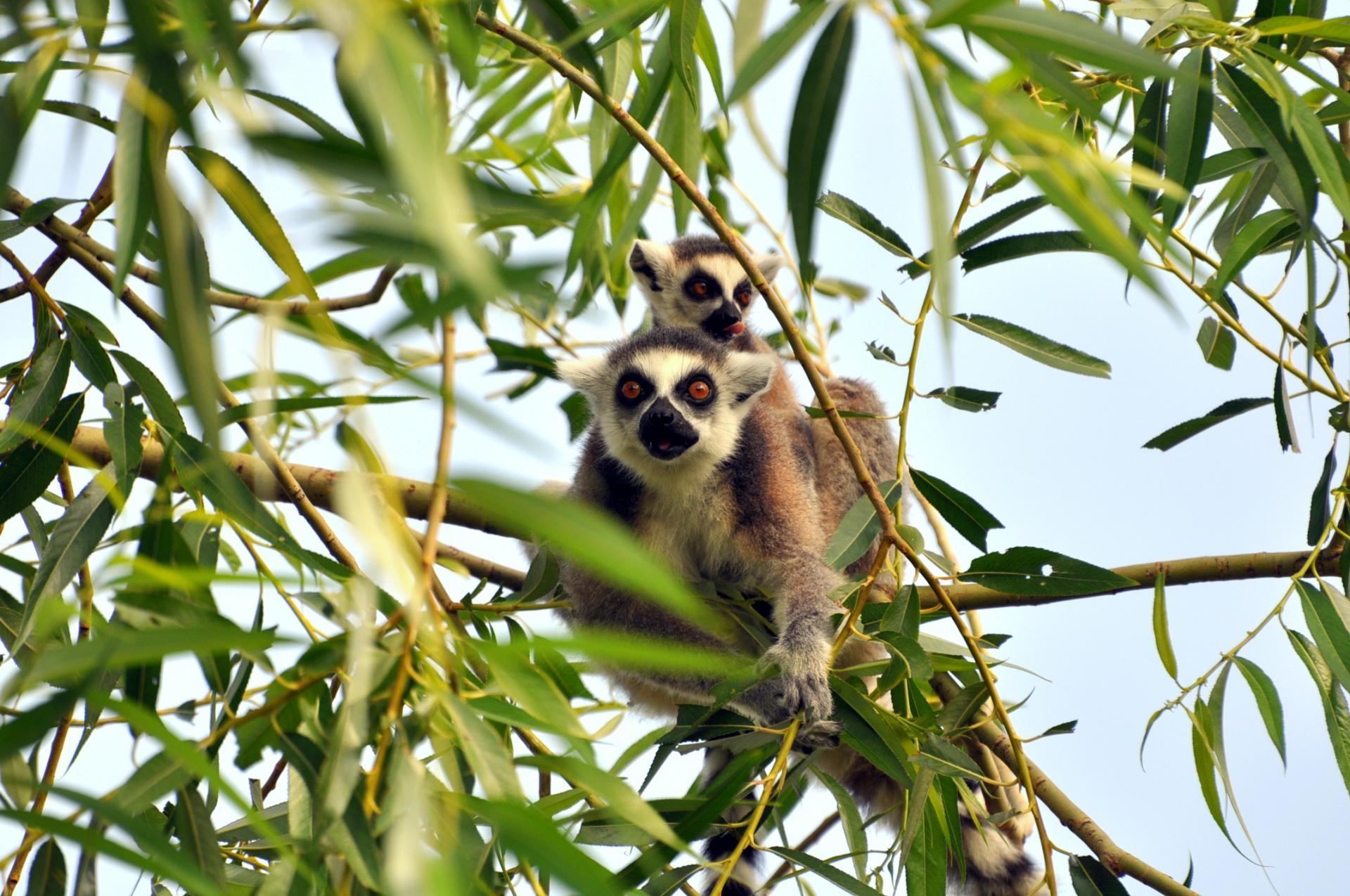 Lemur catte fl