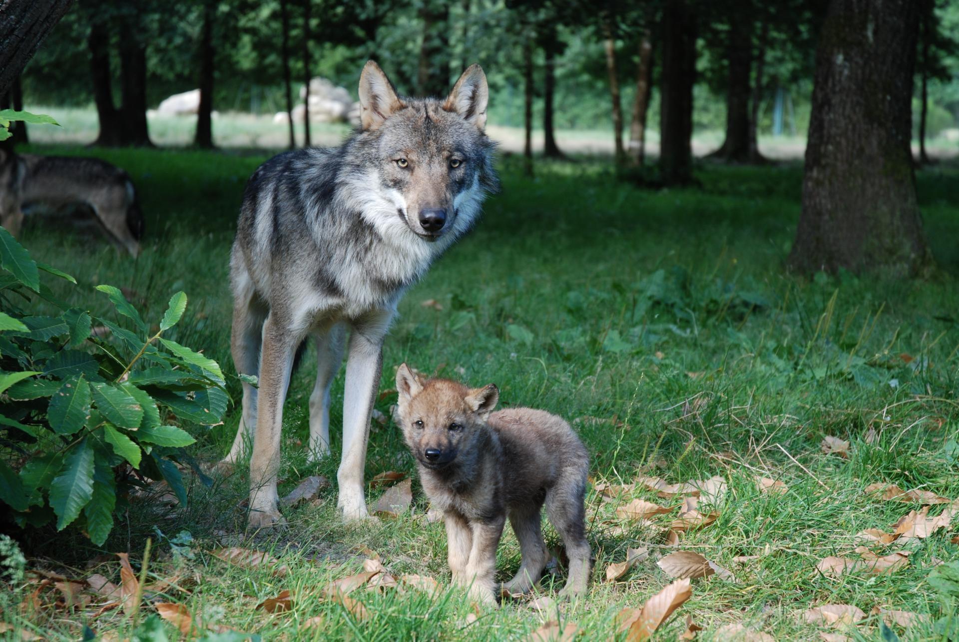 Loup europe c mnhn patrick roux