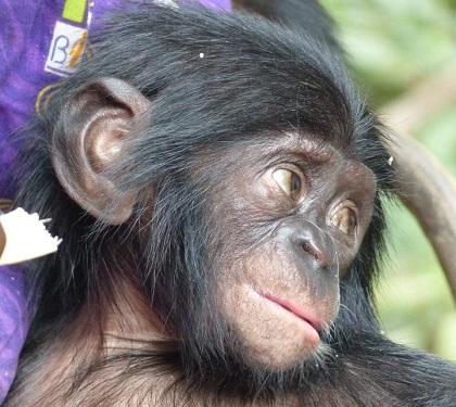 Lubi bonobo femelle de 2 ans copie