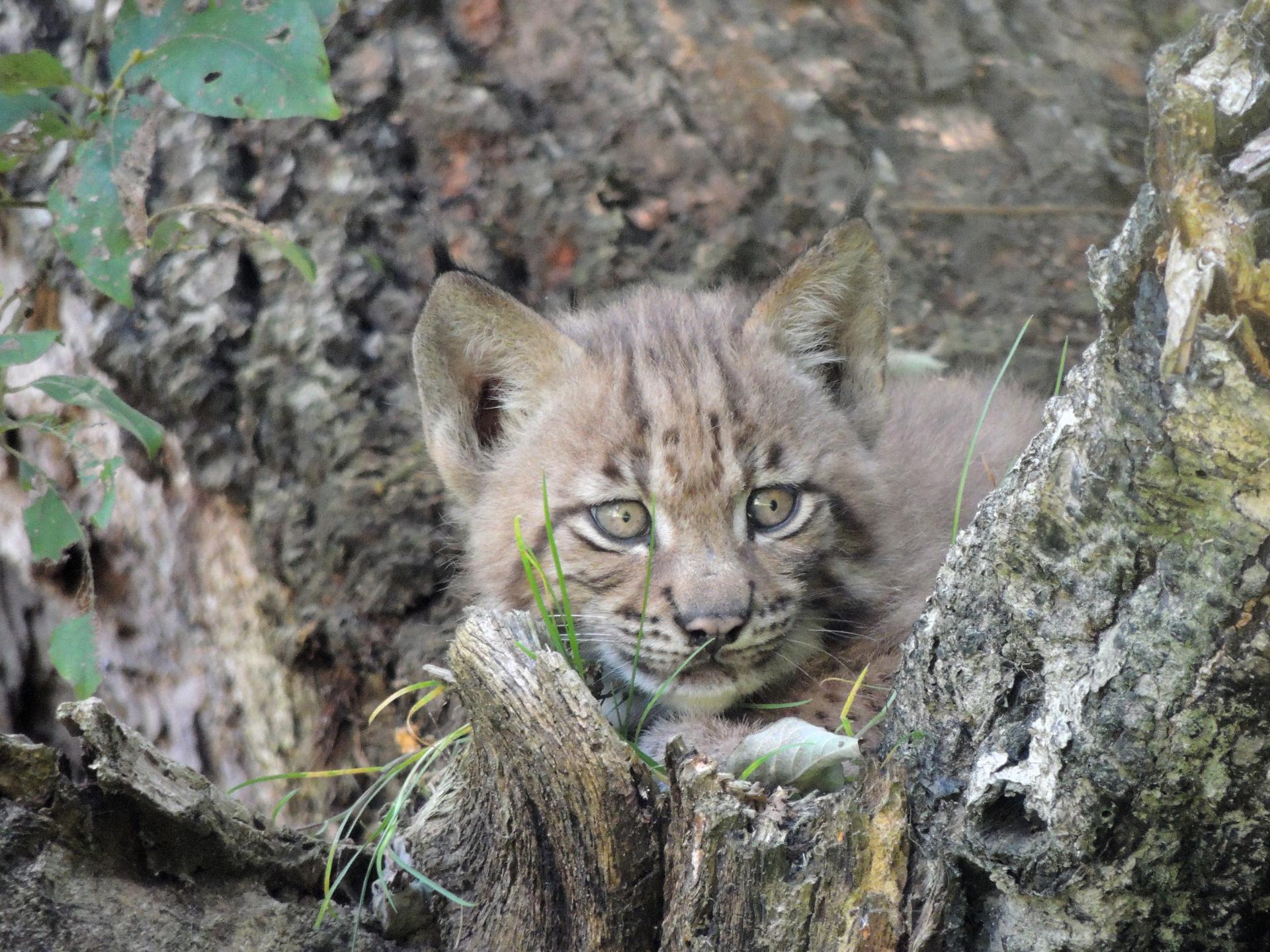 Lynx c mnhn patrick rouxbis