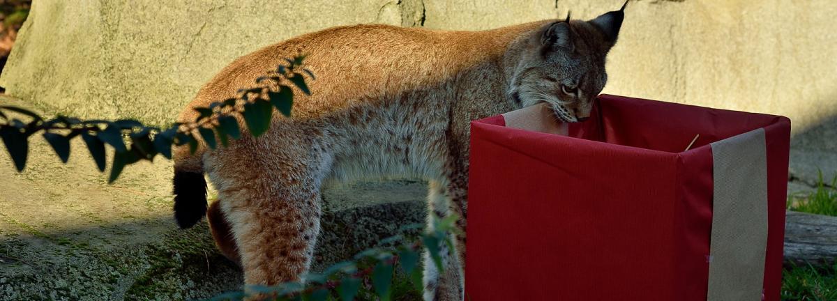 Noel au zoo lynx pzp c f g grandin mnhn