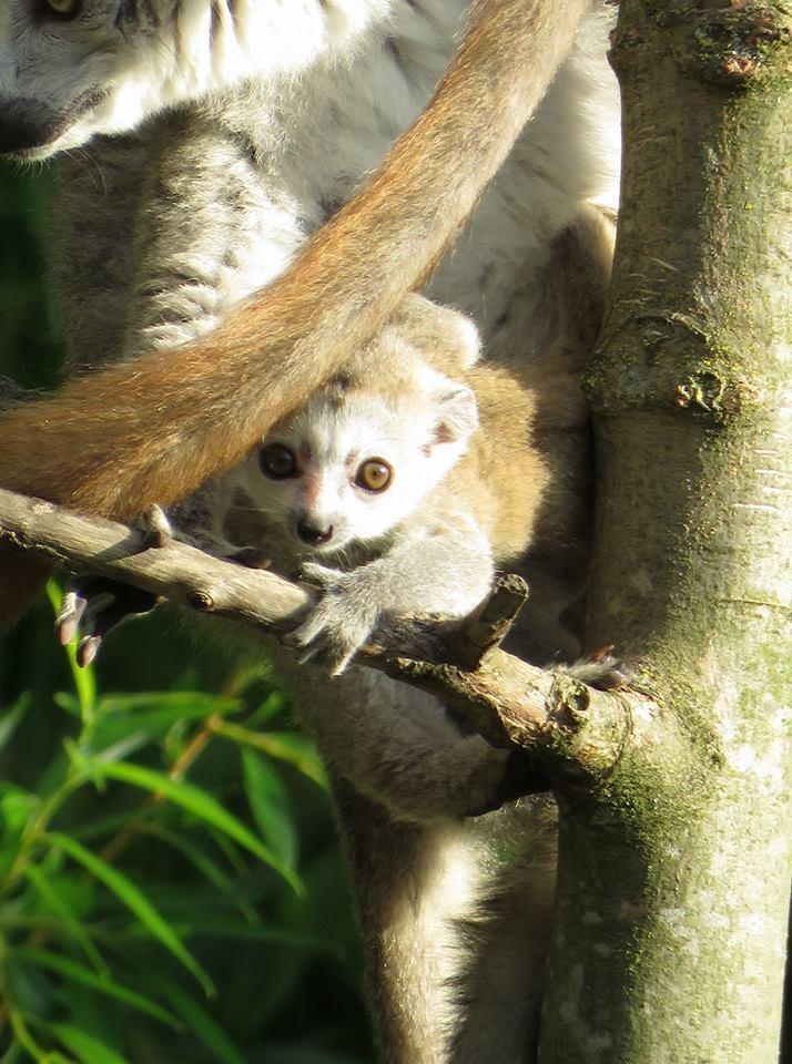Petit lemur couronne 23 mai 2017 celine renac