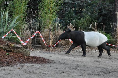 Tapir malais