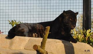 Jaguar noir