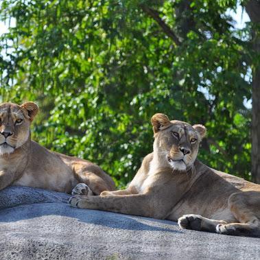 Lionnes sur leur rocher
